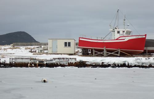 Harp Seal on the ice - Ferryland