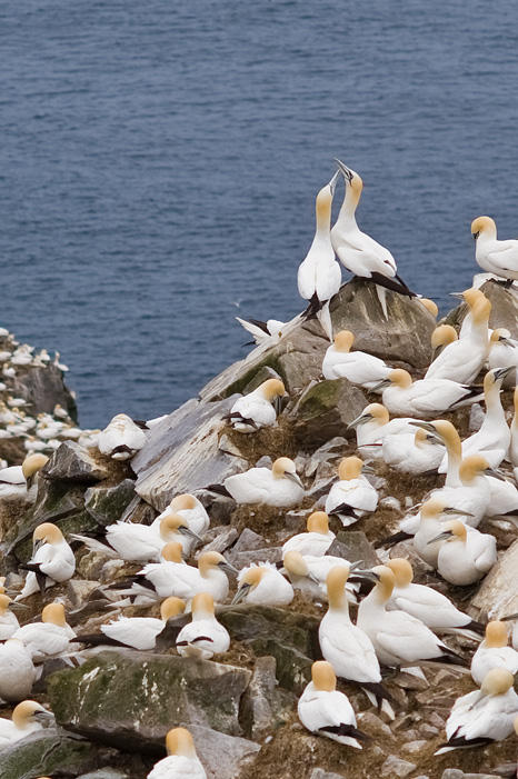 Gannet love - Cape St. Mary's