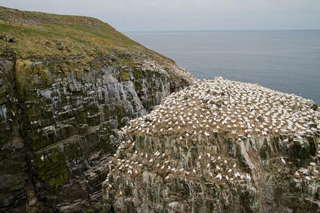 Bird Rock - Cape St. Mary's
