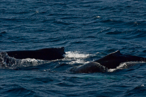 Humpback Whales - Witless Bay Ecological Reserve
