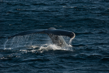 Humpback Tail - Witless Bay Ecological Reserve
