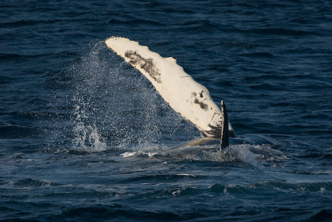 Humpback fin - Witless Bay Ecological Reserve