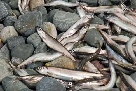 Dead Capelin on the beach - Middle Cove