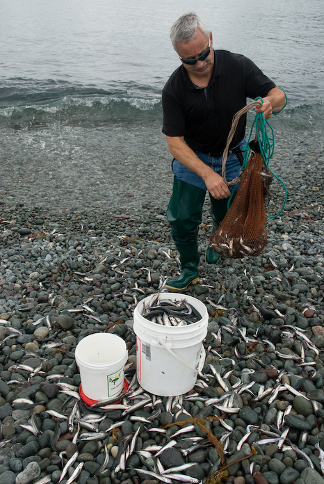 Lots of Capelin - Middle Cove