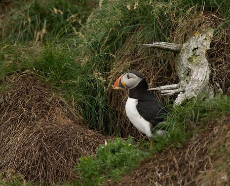 Nesting Puffin - Gull Island