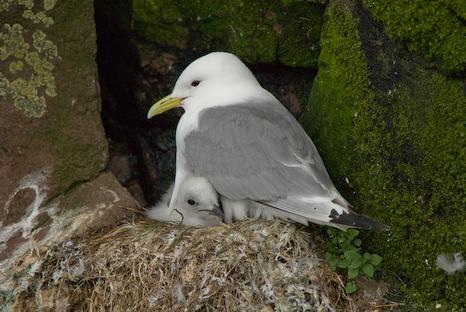 Kittiwake nestling - Gull Island