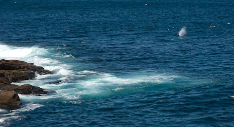 Humpback close to shore - Cape Spear
