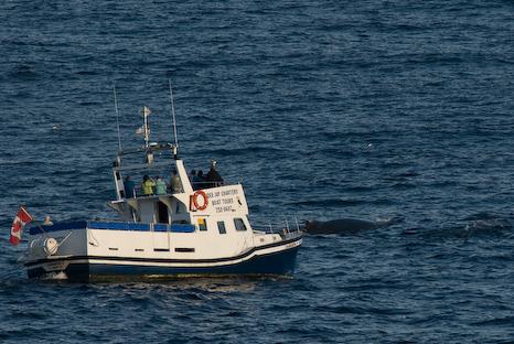 Tour boat chasing Humpbacks - Cape Spear