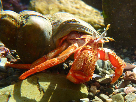 Hermit Crab - OSC Touch Tank