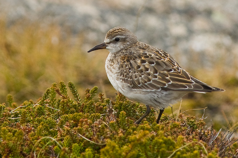 a Sanderling, named after me!