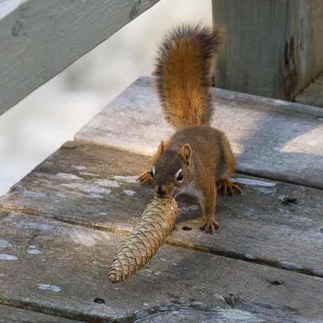 Squirrel preparing for winter - St. John's