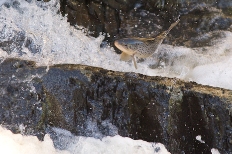 Jumping Brown Trout - St. John's