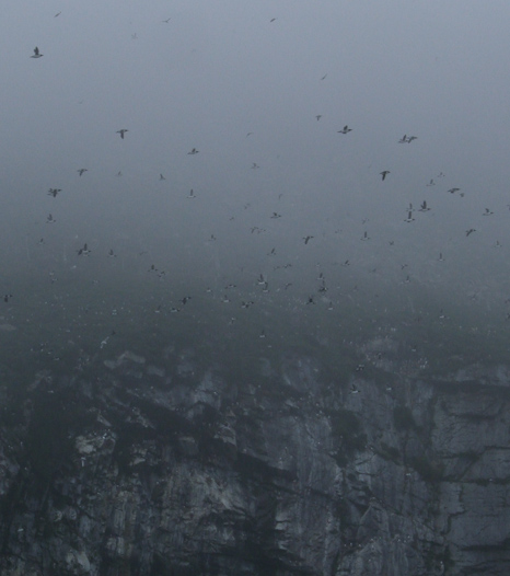 Murres in the fog - Great Island, Witless Bay Ecological Reserve