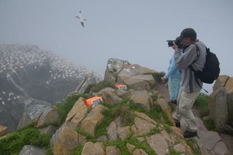 Northern Gannets - Bird Rock, Cape St. Mary's