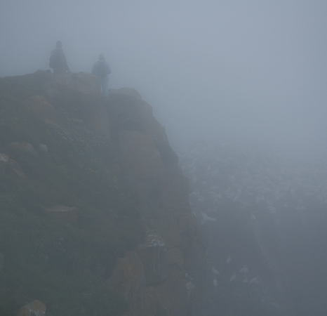 Visitors in the fog - Bird Rock, Cape St. Mary's