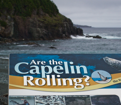 Waiting for Capelin - Middle Cove beach
