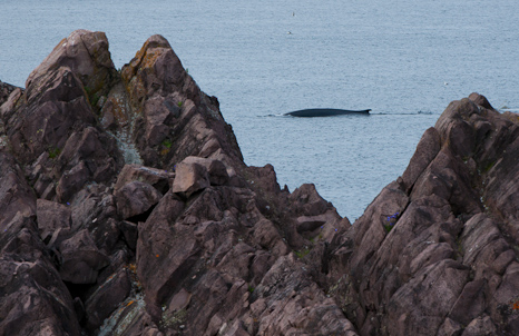 Whales just off the coast - Logy Bay