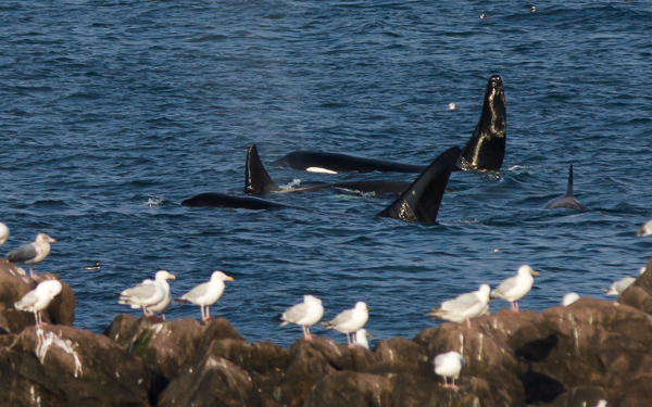 Killer whales - seen in Logy Bay