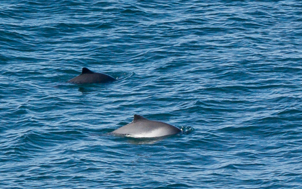 Harbour porpoises - seen from Ship Cove Point