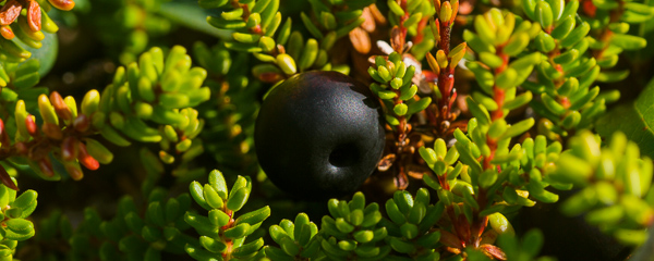 Crowberry - Cape Spear Path