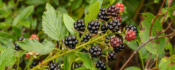 Blackberries - Deadmans Bay Path