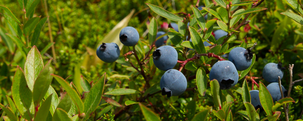Blueberries - Biscan Cove Path