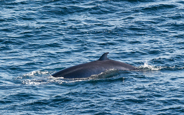 Minke whale - seen from Spurwink Island Path