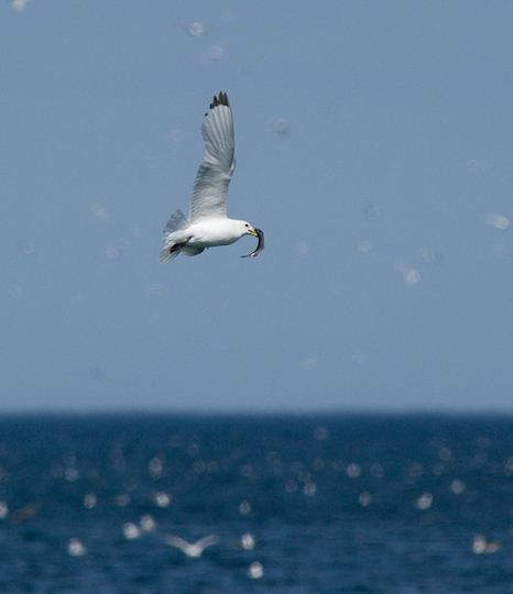 Kittiwake catches a capelin - Middle Cove beach