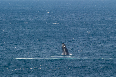 Humpback breaching in the distance - Middle Cove