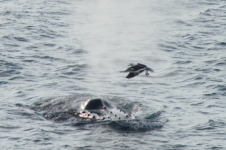 Humpback scaring a saddleback - Middle Cove