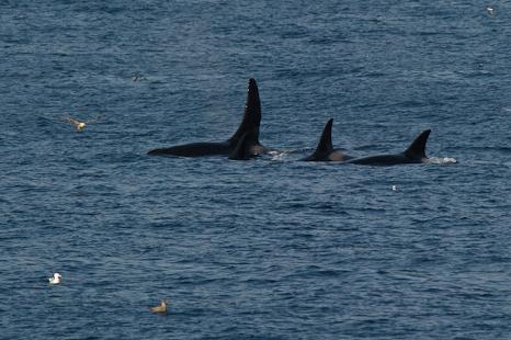 Killer whale pod - Logy Bay