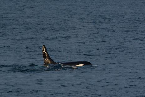 Killer whale at last light - Logy Bay
