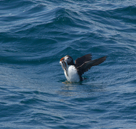 Puffin comes up with Capelin - Witless Bay Ecological Reserve