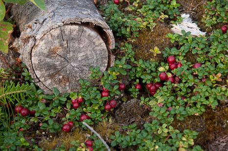 Partridgeberry patch - Cobbler Path