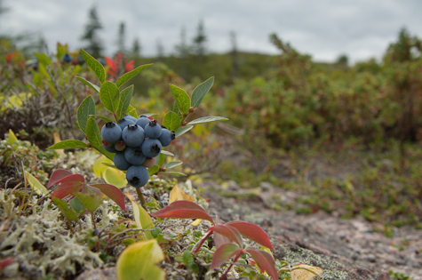 Even the tiniest bush has big fat juicy blueberries - South Side Hills