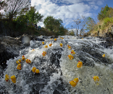 Rubber Duck Race - Rennie's River