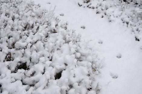 White Blueberry bushes - Cobbler Path
