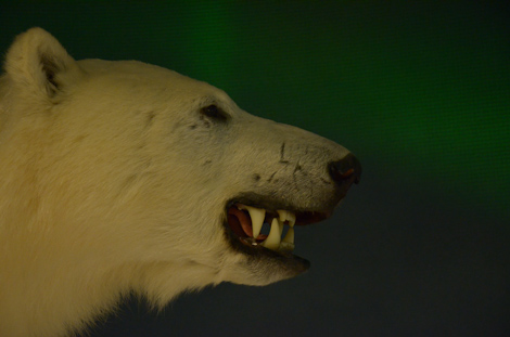 A snarling Polar Bear - The Rooms