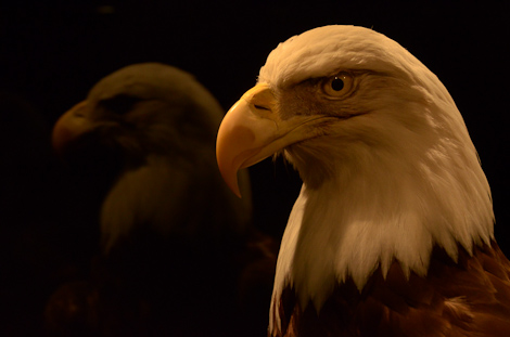 A Bald Eagle and his reflection - The Rooms