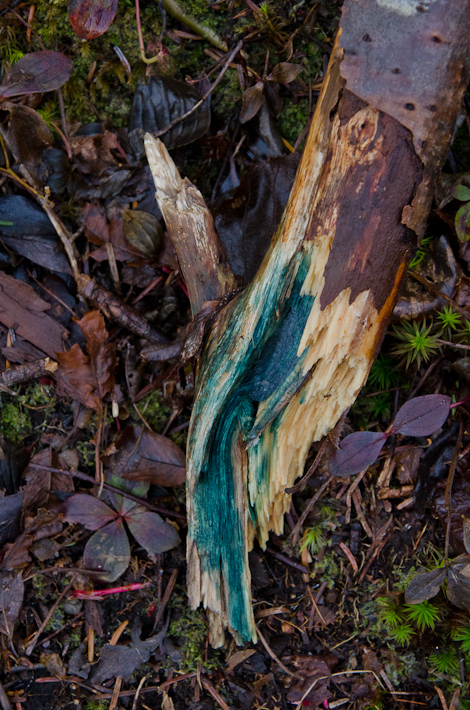 Wood with blue-stain fungi - Deadman's Bay Path