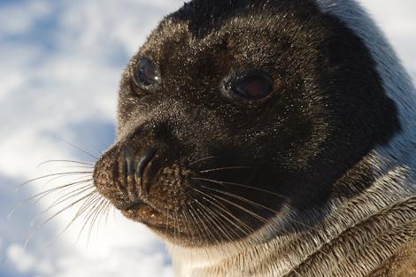 Harp Seal portrait - Holyrood