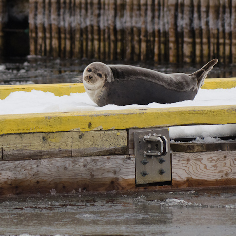 Docked Harbour Seal - Holyrood