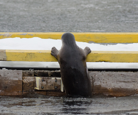 Harbour Seal crawling onto the dock - Holyrood