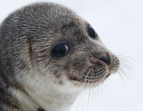 Harbour Seal portrait - Holyrood
