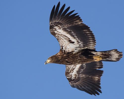 Juvenile Bald Eagle - Cape Spear