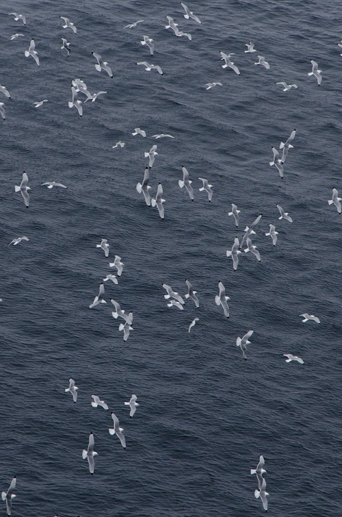 Kittiwakes in a tizzy - Father Troy's Trail