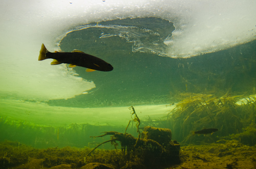 Brown Trout underneath the ice - Fluvarium