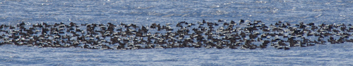 Common Eiders - Calvert Bay
