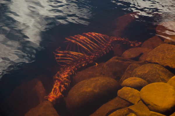 Dead seal, picked clean - Deadmans Bay Path