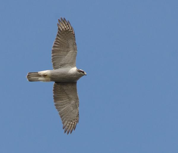Bird of prey - Deadmans Bay Path